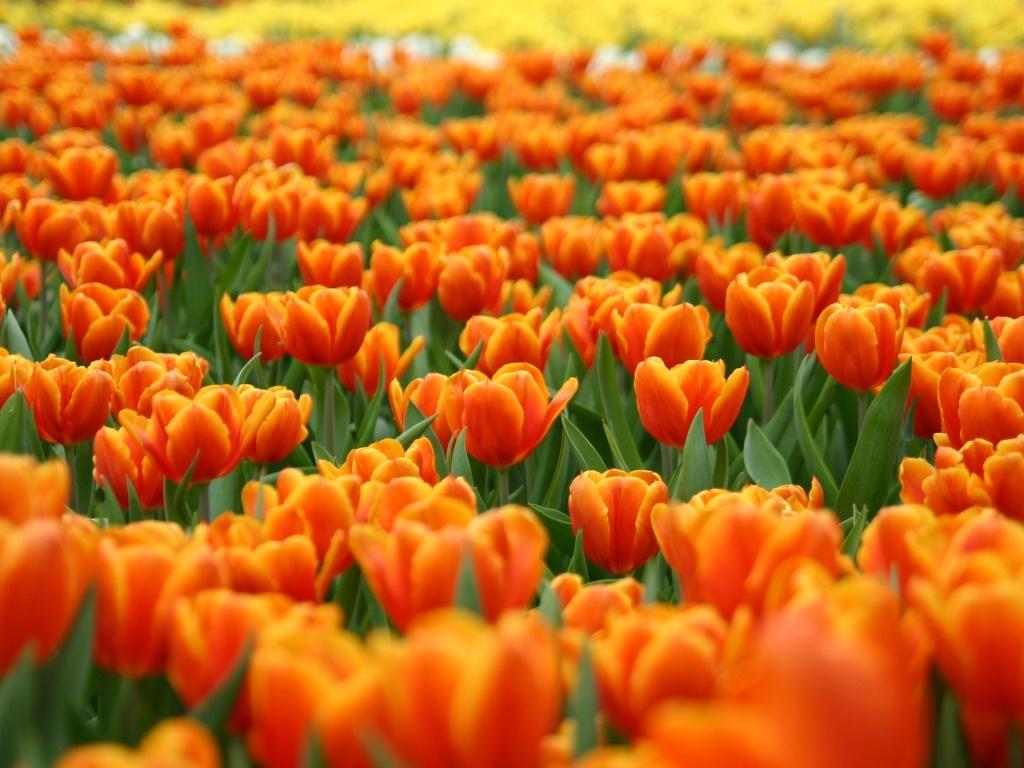 fiori-arancioni-sfondo